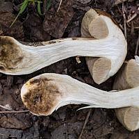 Подберёзовик обыкновенный (Leccinum scabrum)