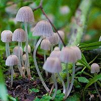 Навозничек рассеянный (Coprinellus disseminatus)