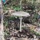 Гриб-зонтик высокий (Macrolepiota procera)