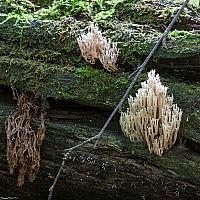 Артомицес крыночковидный (Artomyces pyxidatus)