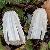 Навозник белый (Coprinus comatus)