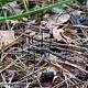 Негниючник тычинковый (Gymnopus androsaceus)