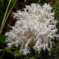 Ежовик коралловидный (Hericium coralloides)