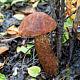 Подосиновик красный (Leccinum aurantiacum)