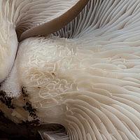 Вешенка обыкновенная (Pleurotus ostreatus)