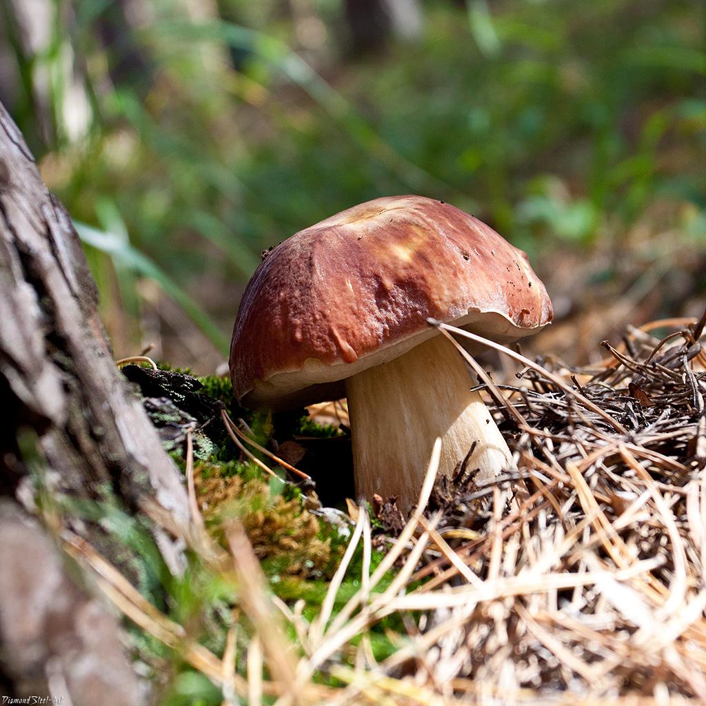 Белый гриб сосновый (Boletus pinophilus)