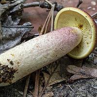 Рядовка жёлто-красная (Tricholomopsis rutilans)