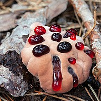 Гиднеллум ржавчинный (Hydnellum ferrugineum)
