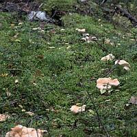 Ежовик жёлтый (Hydnum repandum)
