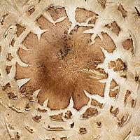 Гриб-зонтик краснеющий (Chlorophyllum rachodes)