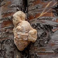 Трутовик серно-жёлтый (Laetiporus sulphureus)
