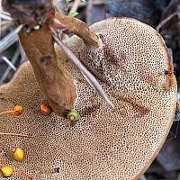 Сухлянка двухлетняя (Coltricia perennis)