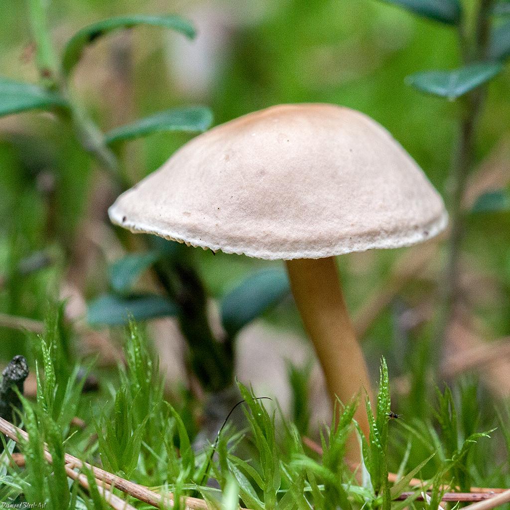 Гимнопус водянистый (Gymnopus aquosus)