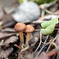 Гимнопус дуболюбивый (Gymnopus dryophilus)