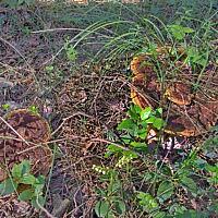 Трутовик Швейница (Phaeolus schweinitzii)