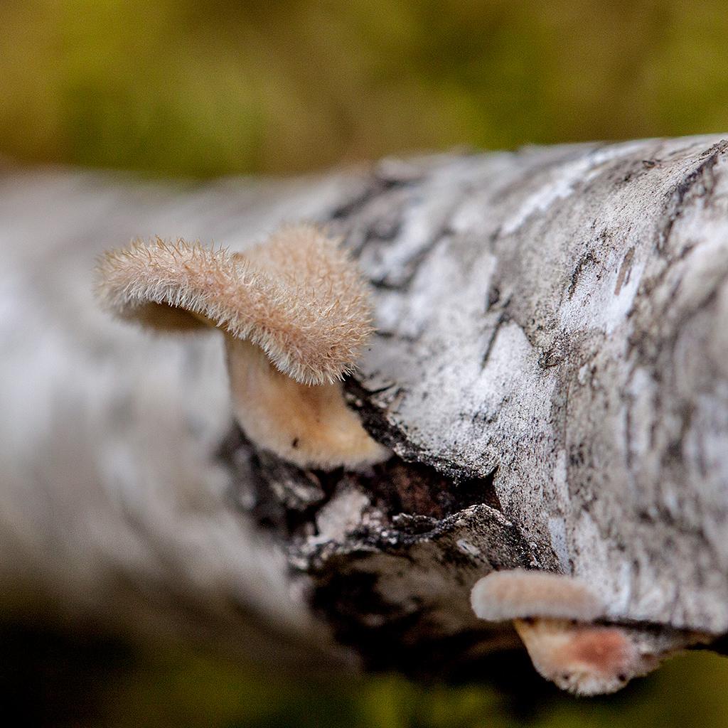 Лентинус щетинистый (Lentinus strigosus)