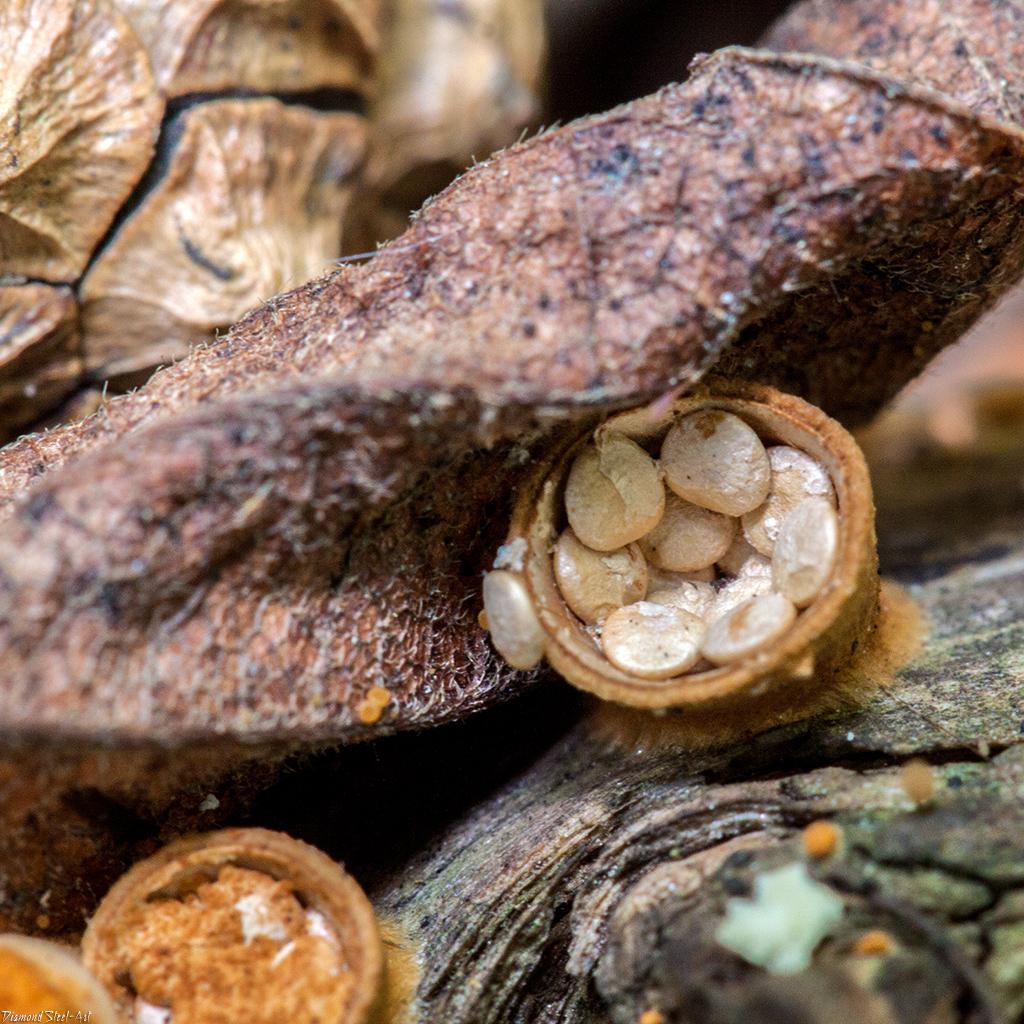 Бокальчик гладкий (Crucibulum laeve)