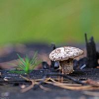 Неолентинус мелкочешуйчатый (Neolentinus lepideus)