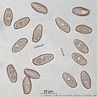 Дубовик оливково-бурый (Suillellus luridus). Споры.
