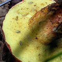 Моховичок пёстрый (Xerocomellus chrysenteron)