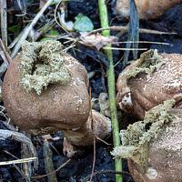 Дождевик грушевидный (Apioperdon pyriforme)