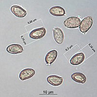 Паутинник болотный (Cortinarius uliginosus). Споры.