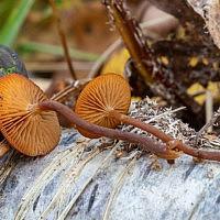 Галерина окаймлённая (Galerina marginata)