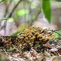 Опёнок ложный, серно-жёлтый (Hypholoma fasciculare)