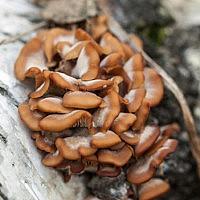 Пилолистничек медвежий (Lentinellus ursinus)