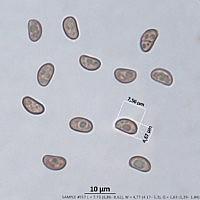 Чешуйчатка бугорчатая (Pholiota tuberculosa)