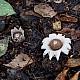 Земляная звезда, бахромчатая (Geastrum fimbriatum)