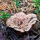 Рыжик настоящий (Lactarius deliciosus)