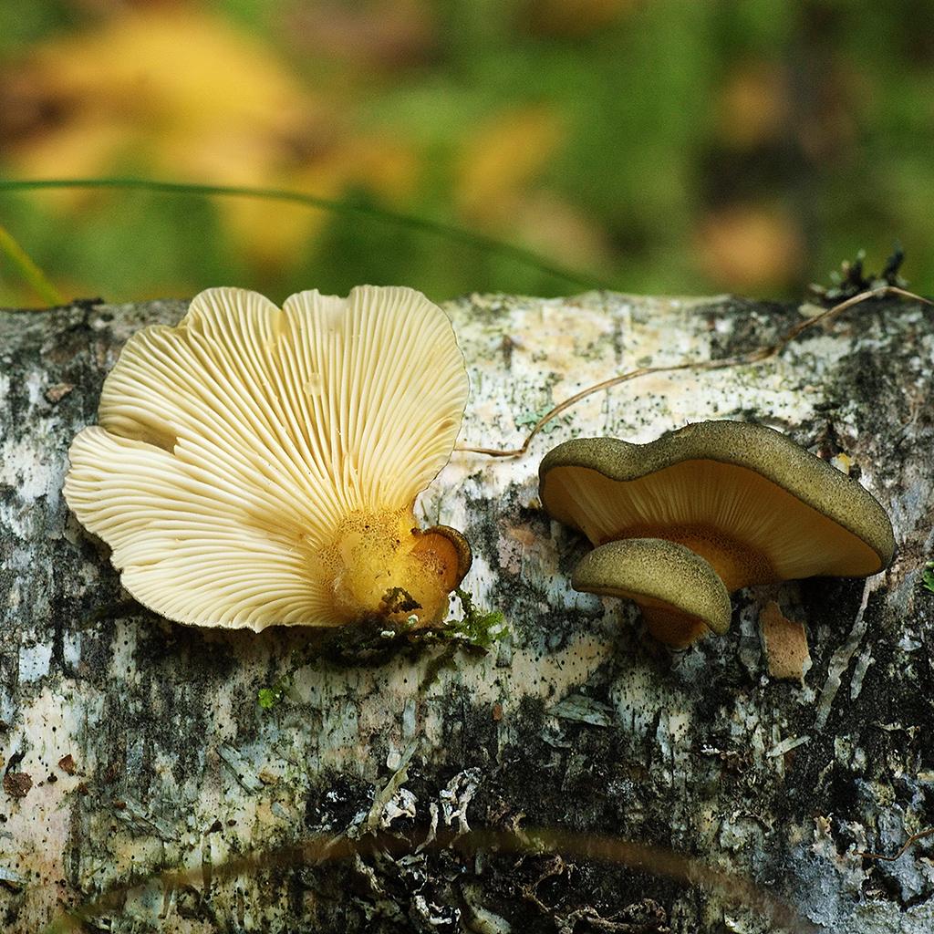 Вешенка поздняя (Panellus serotinus)