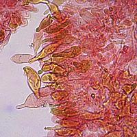 Чешуйчатка чешуйчатовидная (Pholiota squarrosoides). Плевроцистиды и Плеврохризоцистиды