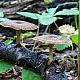 Полипорус зимний (Polyporus brumalis)