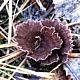 Телефора гвоздичная (Thelephora caryophyllea)