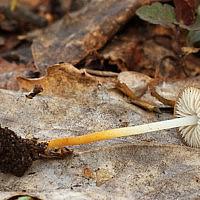 Стробилюрус черенковый (Strobilurus tenacellus)