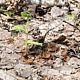 Думонтиния клубневая (Dumontinia tuberosa)
