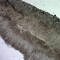 Геопиксис угольный (Geopyxis carbonaria)