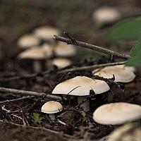 Рядовка майская (Calocybe gambosa)