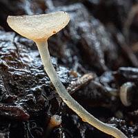 Цибория берёзолюбивая (Ciboria betulicola)