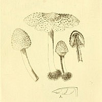Лепиота гребенчатая (Lepiota cristata)