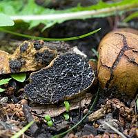 Меланогастер Брума (Melanogaster broomeanus)