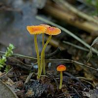 Мицена иголка (Mycena acicula)