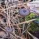 Миксомфалия гаревая (Myxomphalia maura)