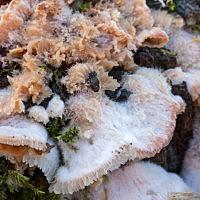 Флебия дрожащая (Phlebia tremellosa)