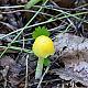Больбитус золотистый (Bolbitius titubans)