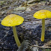 Плютей золотистожилковый (Pluteus chrysophlebius)