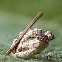 Боверия Басси (Beauveria bassiana s.l.)