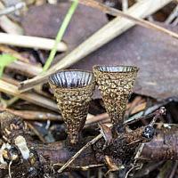 Бокальчик полосатый (Cyathus striatus)